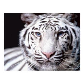 Carte Postale Photographie blanche de tigre de Bengale