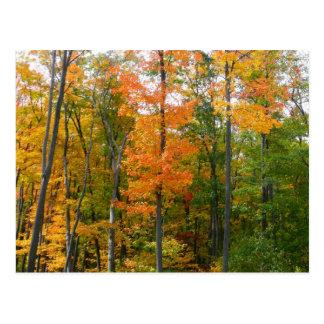 Carte Postale Photographie de nature d'automne d'arbres d'érable