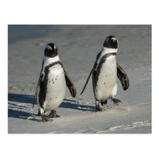 Carte Postale Pingouin africain (demersus de Spheniscus) 2