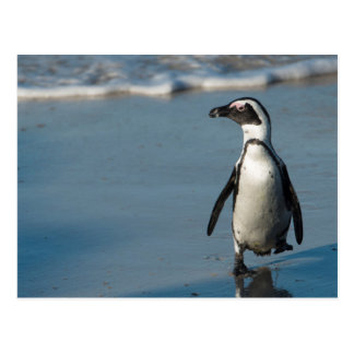 Carte Postale Pingouin africain (demersus de Spheniscus) 3
