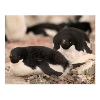 Carte Postale Pingouin d'Adelie, adeliae de Pygoscelis, sur