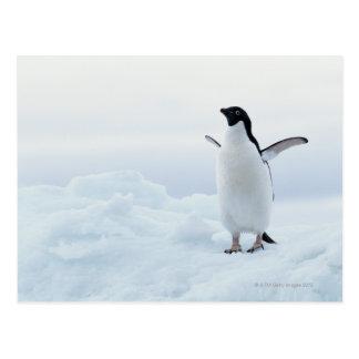 Carte Postale Pingouin d'Adelie, Antarctique