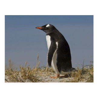 Carte Postale Pingouin de Gentoo (Pygoscelis Papouasie) sur