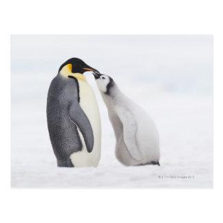 Carte Postale Pingouin d'empereur (forsteri d'Aptenodytes),
