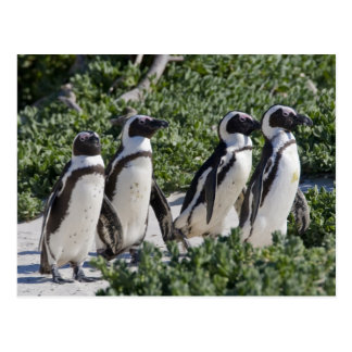Carte Postale Pingouins africains, autrefois connus sous le nom
