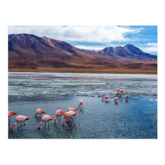 Carte Postale Pink Flamingoes in la Bolivie
