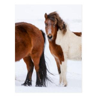 Carte Postale Pinto a coloré le cheval islandais