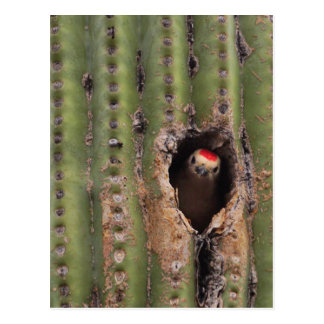 Carte Postale Pivert du Gila dans le Saguaro