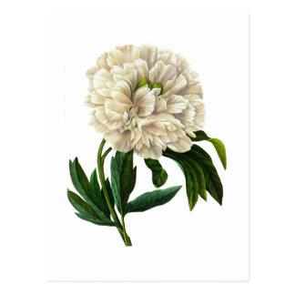 Carte Postale Pivoine blanche par Pierre Joseph Redoute