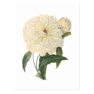 Carte Postale pivoine (flagrans de Paeonia) par Redouté
