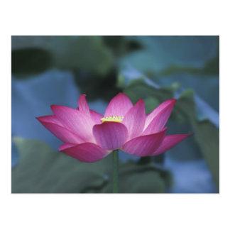 Carte Postale Plan rapproché de fleur de lotus rouge et de
