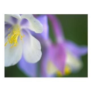 Carte Postale Plan rapproché de fleur du Colorado Columbine