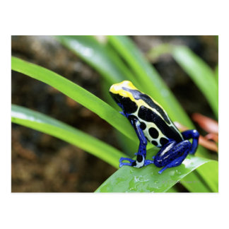 Carte Postale Plan rapproché de grenouille de teinture de dard