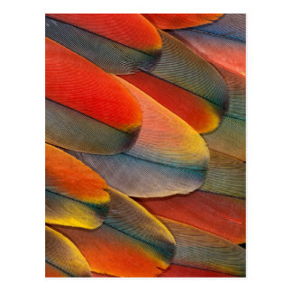 Carte Postale Plan rapproché de plume d'ara d'écarlate