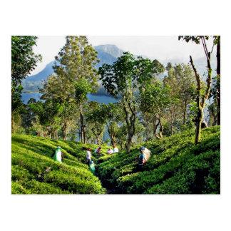 Carte Postale Plantation de thé