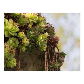 Carte Postale plante succulent