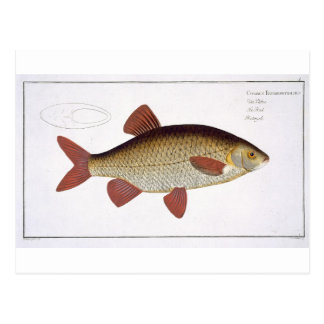 Carte Postale Plat rouge I de carpe (Cyprinus Erithrophthalmus)