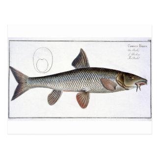 Carte Postale Plat XVIII de Barbel (Cyprinus Barbus) de 'Ichthyo
