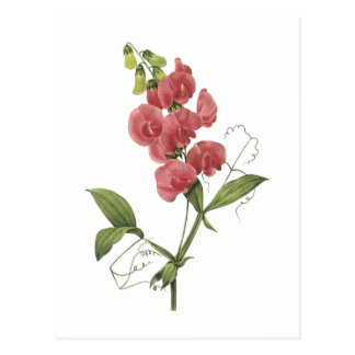 Carte Postale pois doux éternel par Redouté