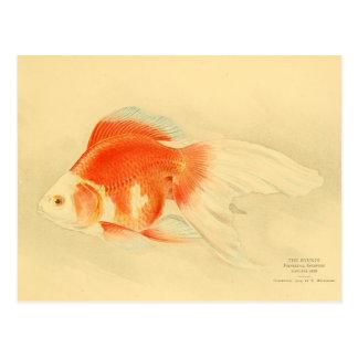 Carte Postale Poisson rouge japonais. Le Ryukin.