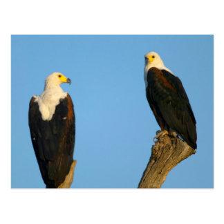 Carte Postale Poissons Eagle africains (Haliaeetus Vocifer)