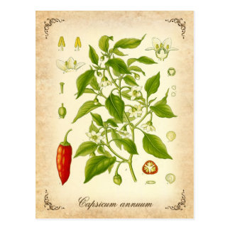 Carte Postale Poivre de piment - illustration vintage
