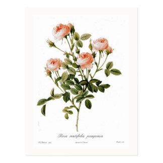 Carte Postale Pomponia de centifolia de Rosa