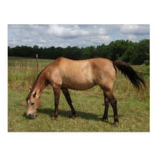 Carte Postale Poney brun grisâtre de Connemara, cheval, frôlant