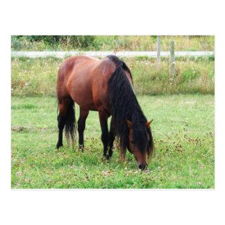 Carte Postale Poney de Connemara de baie, cheval, frôlant