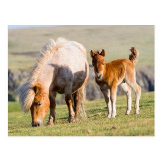 Carte Postale Poney de Shetland sur le pâturage près de hautes