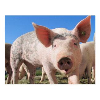 Carte Postale Porc adorable krouik-krouik