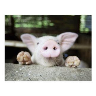Carte Postale Porc de bébé dans le stylo, porcelet
