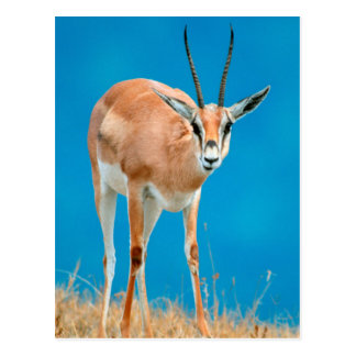 Carte Postale Portrait de brebis de la gazelle de Grant (Gazella