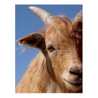 Carte Postale Portrait de chèvre de cachemire