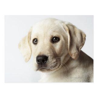 Carte Postale Portrait de chiot blond de labrador retriever