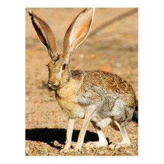Carte Postale Portrait de lièvre d'antilope, Arizona