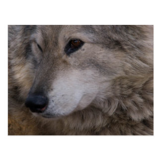 Carte Postale Portrait de loup