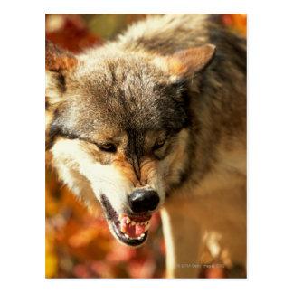 Carte Postale Portrait de loup grognant