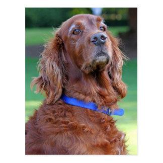 Carte Postale Portrait de photo de chien de poseur irlandais