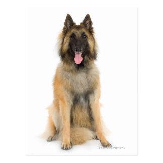 Carte Postale Portrait de studio de chien de berger belge