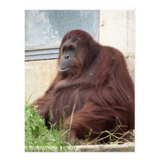 Carte Postale Portrait d'orang-outan