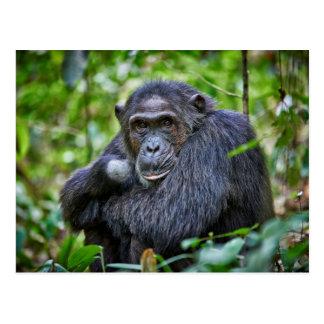 Carte Postale Portrait d'un chimpanzé sauvage