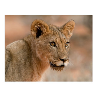 Carte Postale Portrait d'un jeune lion masculin (Panthera Lion)