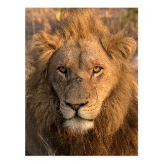 Carte Postale Portrait d'un lion masculin