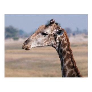Carte Postale Portrait d'une girafe