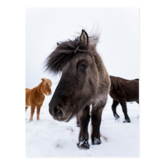 Carte Postale Portrait islandais de cheval, Islande
