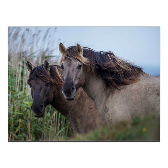 Carte Postale Postcard Nature - Konik Ponies at Oare Marsh
