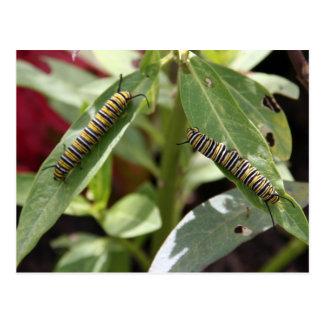 Carte Postale Postcrossing - chenilles de papillon de monarque