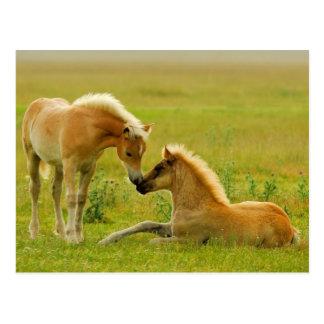 Carte Postale Poulains de cheval