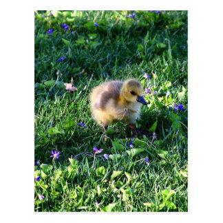 Carte Postale Poussin d'oie du Canada sur l'herbe avec des